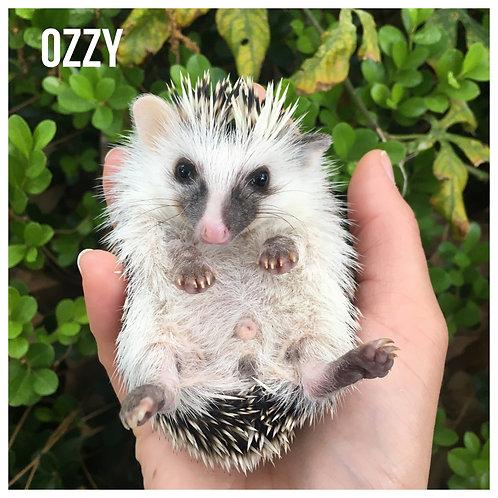 Ozzy - $325