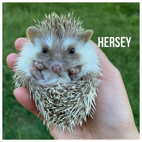Hersey- $350