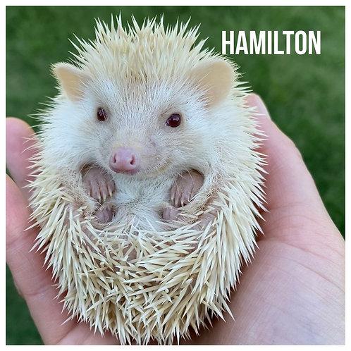 Hamilton- $350