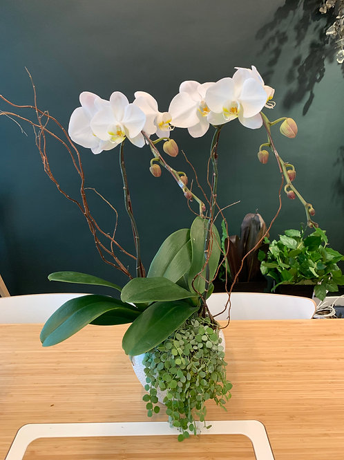 White Orchids 2 Stems