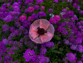Irish Garden Purple
