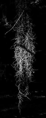 Black Bayou Moss