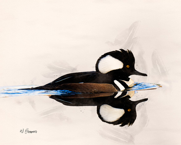 Hooded Merganser Watercolor.jpg