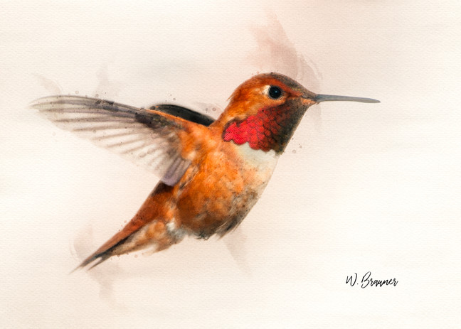 Rufous Male Hummingbird Watercolor.jpg
