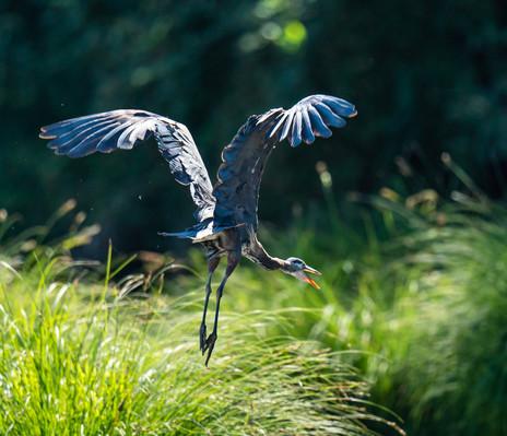 Blue Heron Takeoff.jpg