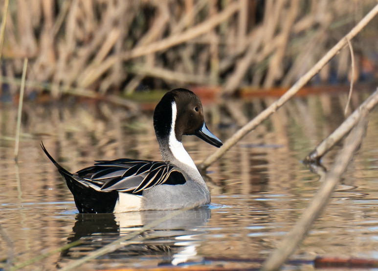 Floating Pintail