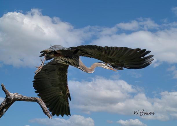 Blue Heron Takeoff II