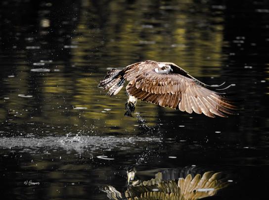 Osprey off with fresh kill.jpg