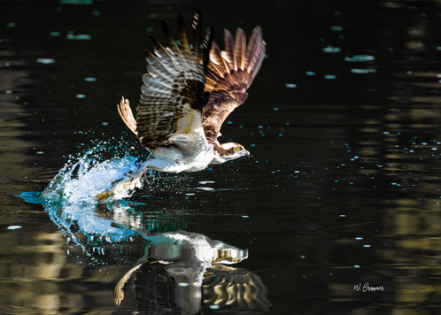 Osprey with a Kill.jpg