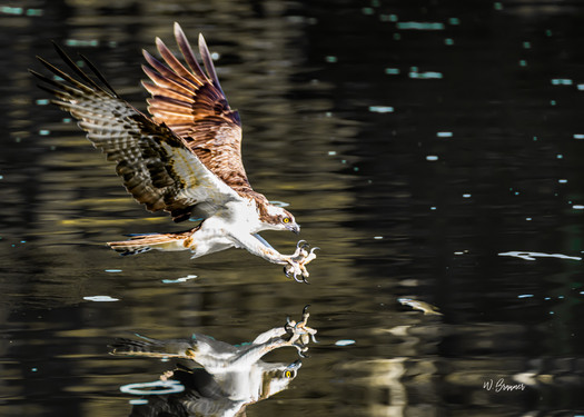 Osprey coming in for a Kill.jpg