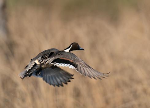 Flying Pintail II
