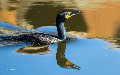 Black Duck.jpeg