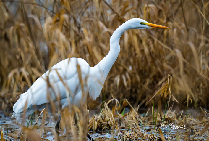 Egret hunting.jpg