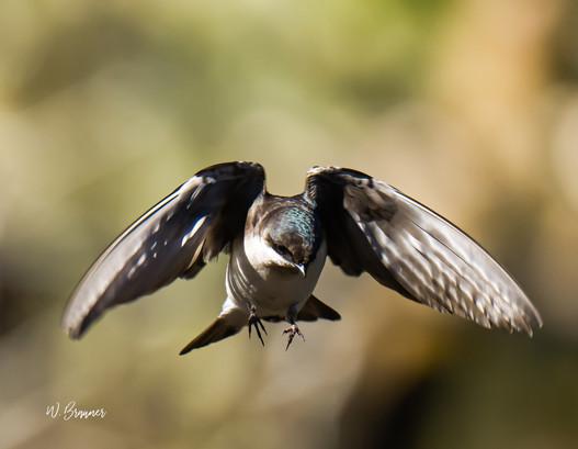 Flying Tree Swallow.jpg
