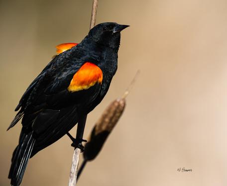 Red Winged Blackbird.jpg