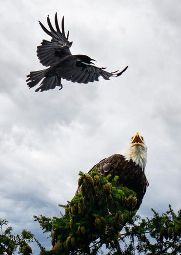 Bald Eagle vs. Blackbird