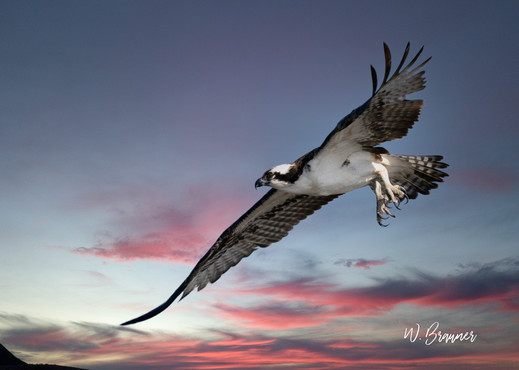 Osprey on Attack at Sunset