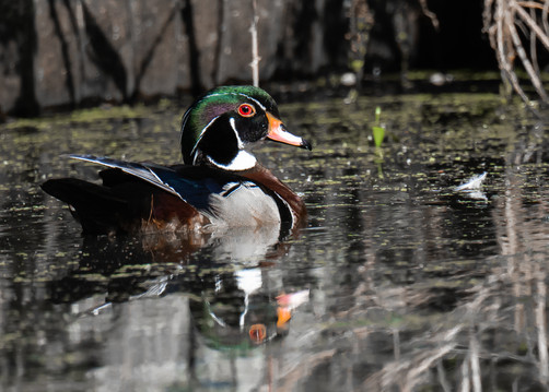 Wood Duck II.jpg
