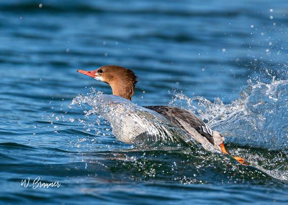 Swimming Merganser