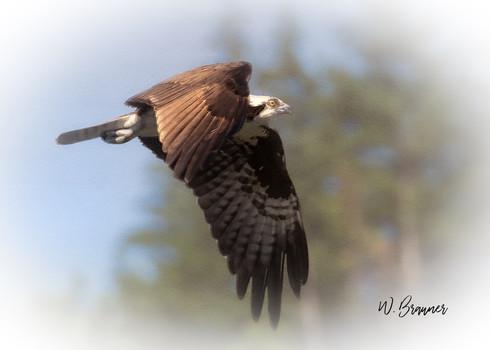 Osprey watercolor.jpg