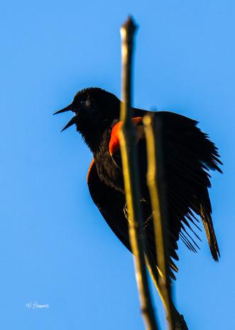 Redwinged Blackbird calling.jpg