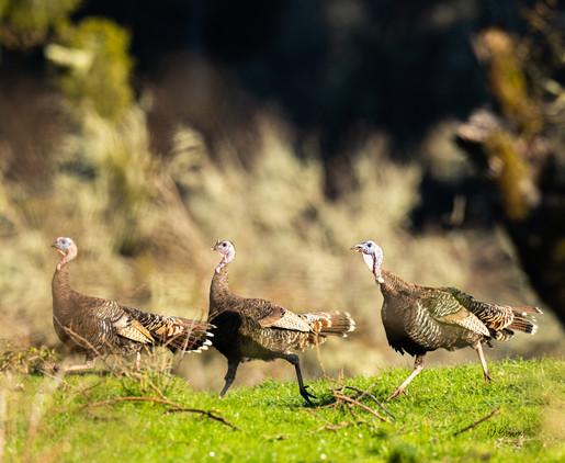 Running Hens.jpg