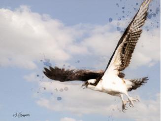Osprey/Hawks
