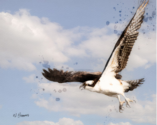 Hunting Osprey Watercolor