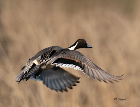 Pintail in flight.jpg