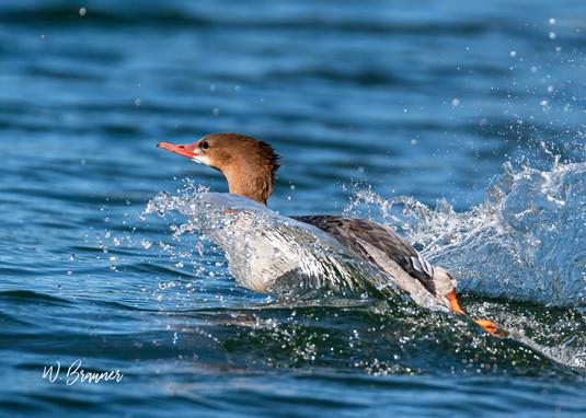 Swimming Merganser.jpg