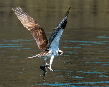 Osprey with Bass.jpg