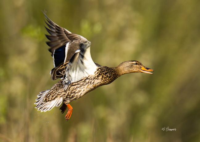 Flying Hen Mallard.jpg