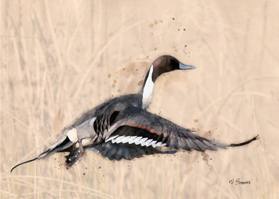Pintail Duck Watercolor