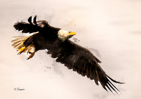 Bald Eagle Flying Watercolor.jpg
