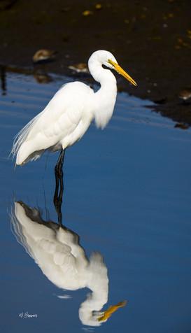 Egret seaching.jpg