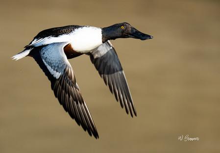 Flying Spoonbill.jpeg