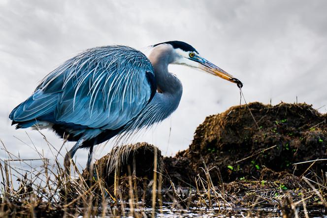 Blue Heron with meal.jpg