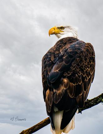 Bald Eagle_.jpg