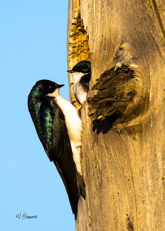 Feeding young tree swallow.jpg