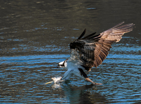 Osprey final approach.jpg