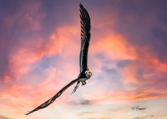 Attacking Osprey III