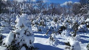 Plut's Christmas Tree Farm
