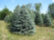 Plut's Christmas Tree Farm