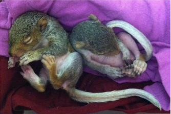 From Rescue To Release A Squirrel Story Volunteers For