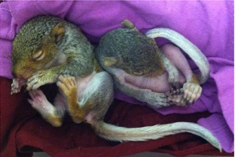 Four week old orphaned baby squirrels.