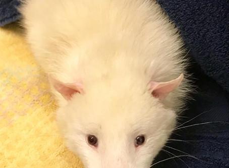 Leucistic Opossum Rescued Just In Time