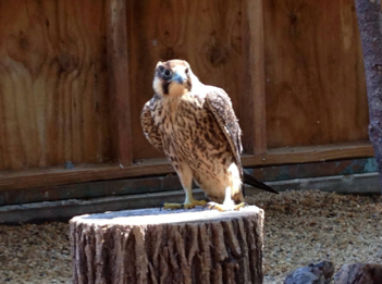 After first being released into her outdoor aviary, the falcon was hesitant about flying. Soon after she was seen stretching her wings by flying from one side of the aviary to the other!