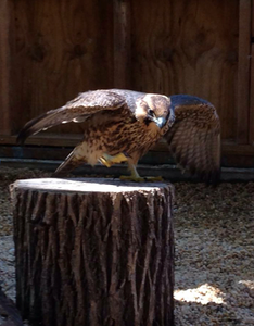 The Peregrine Falcon lands solidly on a stump as she practices flying around her aviary!