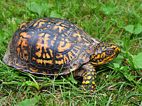 Wildlife Feature Friday: Trixie the Eastern Box Turtle!