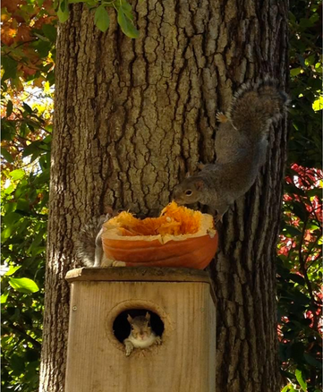 """Squirrels at a """"soft release site"""" pick at some pumpkin put out by a volunteer!"""